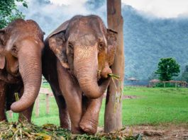 Volunteering at the Elephant Nature Park, Chiang Mai, Thailand