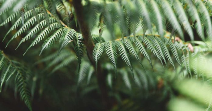 Fern Leaves in New Zealand